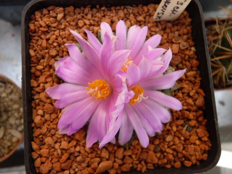 ariocarpus-cocubeanus