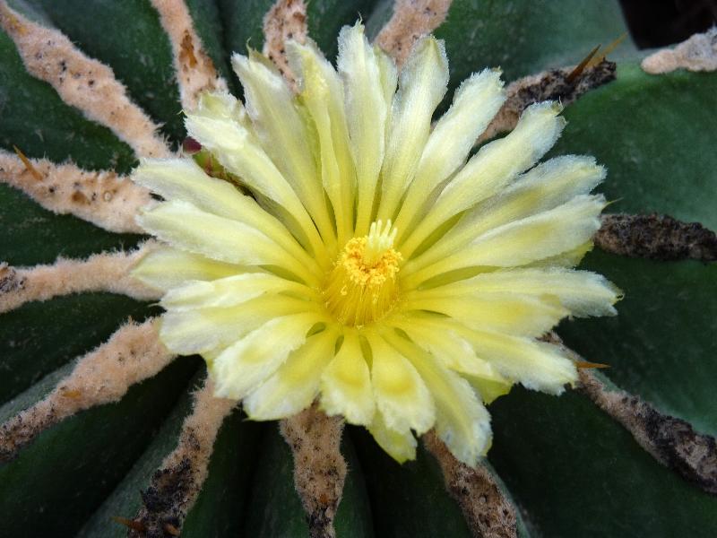 ferocactus-schvarzii