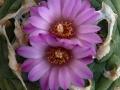lophophora-wiliamsii